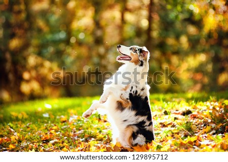 young merle Australian shepherd performs a trick in autumn - stock photo
