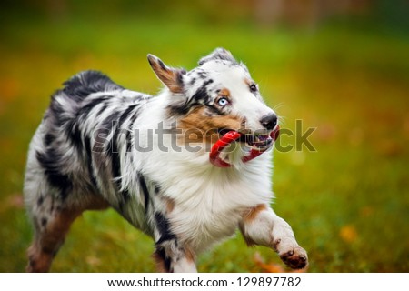 young merle Australian shepherd playing with toy, portrait - stock photo
