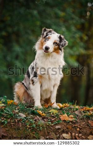 young merle Australian shepherd portrait in autumn - stock photo