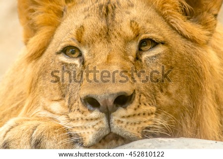 Young Mighty Handsome Lion