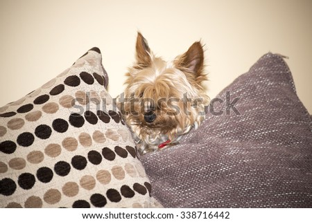 young mini yorkie dog looking out between the cushions - stock photo