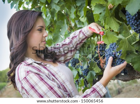 Young Mixed Race Woman Harvesting Grapes in the Vineyard Outside. - stock photo