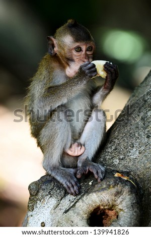 Young monkey eating fruit on the tree at Khao Kheow Open Zoo,Thailand - stock photo