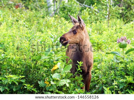 Young moose calf in Algonquin Park, Ontario, Canada - stock photo