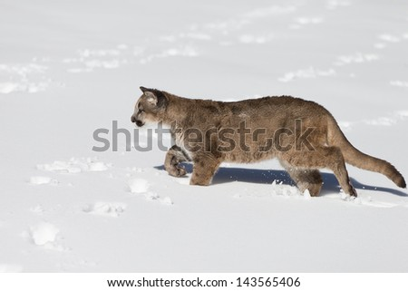 Young Mountain Lion running in snow covered field - stock photo