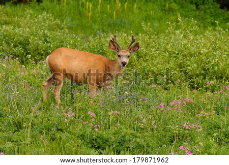 Young Mule Deer buck in velvet during early summer in Yellowstone National Park - stock photo