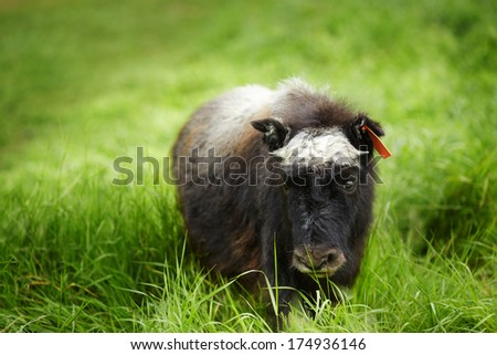 Young Musk Ox - Southern Alaska, United States - stock photo