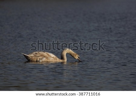Young mute swan (Cygnus olor) floats on water in the light of the evening sun.