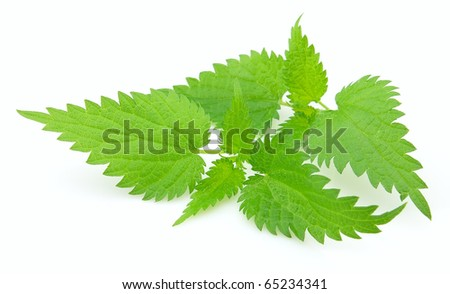 Young nettle on a white background