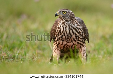 Young Northern goshawk (Accipiter gentilis) - stock photo