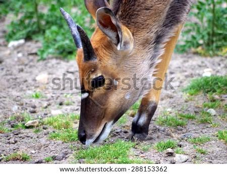 Young Nyala Antilope - stock photo