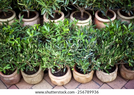 Young olive trees in pots on a terrace in provence - stock photo