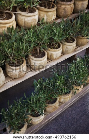 Young olive trees on shelves in a garden center