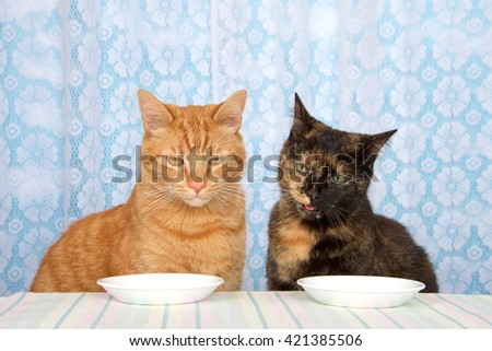 Young orange tabby cat sitting  next to black and orange torbie tortie tabby cat at kitchen counter with white plates in front waiting for food expectantly, looking down towards round plates. - stock photo