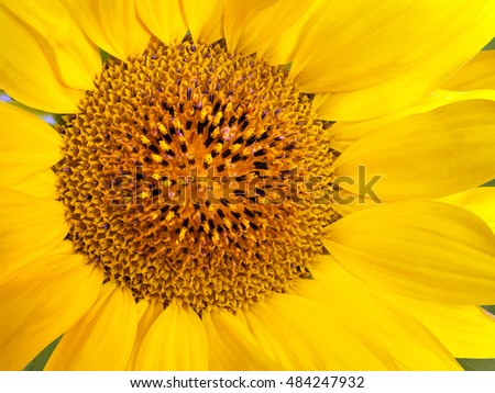 young orange yellow flower of a sunflower background