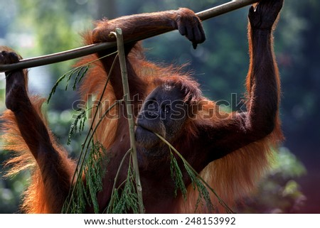 young orangutan climbing and hanging on tree branch, soft focus - stock photo