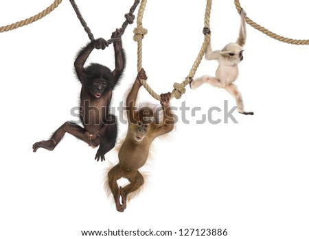 Young Orangutan, young Pileated Gibbon and young Bonobo hanging on ropes against white background - stock photo