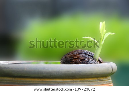 Young othalanga sprout seed float in local jar.