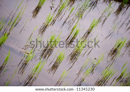young paddy plant - stock photo