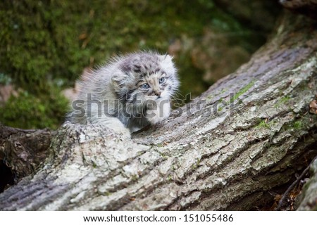Young pallas cat kitten , or manul, lives in the cold and arid steppes of central Asia. Winter temperatures can drop to 50 degrees below zero. - stock photo