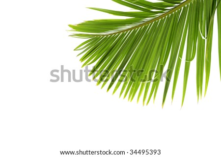 young palm tree leave - stock photo