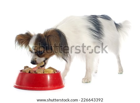 young papillon in front of white background - stock photo