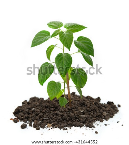 Young pepper seedling growing in soil closeup - stock photo