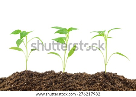 Young pepper seedlings isolated on a white background