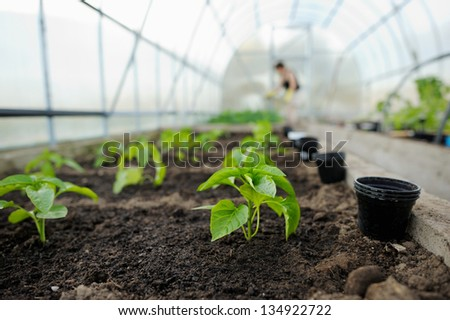 Young pepper seedlings planted in a garden - stock photo