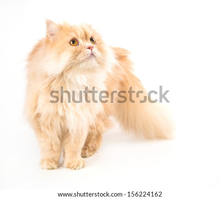 young persian cat isolated on white - stock photo