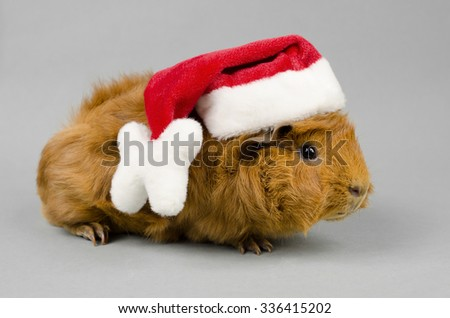 young peruvian guinea pig with xmas hat - stock photo