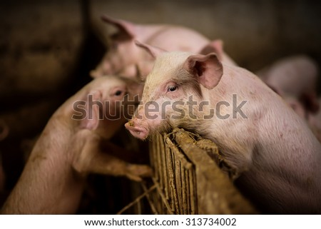 Young pig at pigsty. Very shallow depth of field. Pig farm. - stock photo