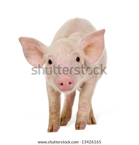 Young Pig (+/-1 month) in front of a white background - stock photo