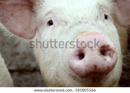 young Pig on a farm - stock photo