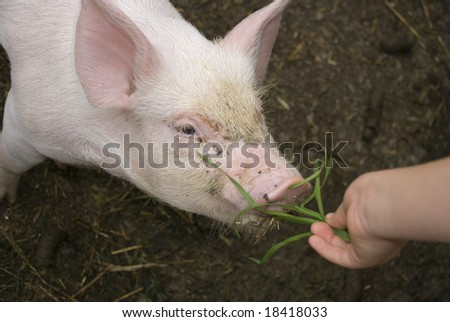 Young piglet eating grass - stock photo