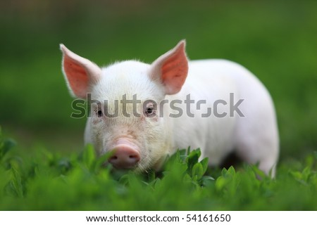 Young pigling on a green grass. - stock photo