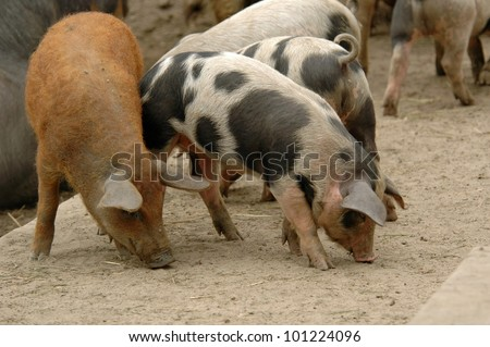 Young pigs - stock photo
