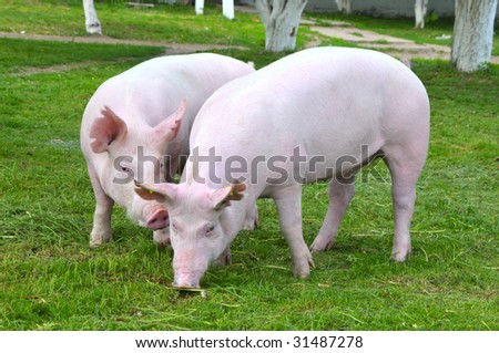 "young pigs breeds ""Great White"" on the walk - stock photo"