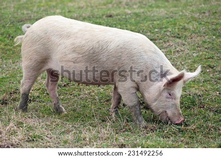 Young pigs graze in green meadow - stock photo