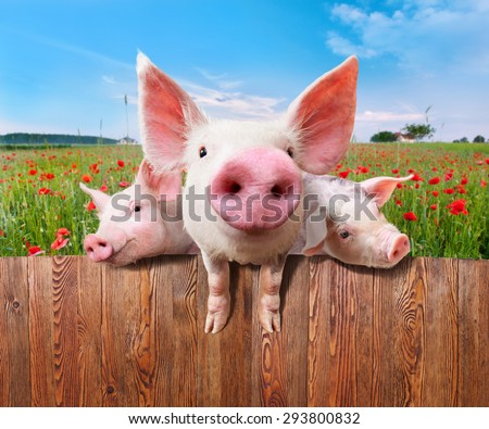 Young pigs on the farm looking over the fence. - stock photo