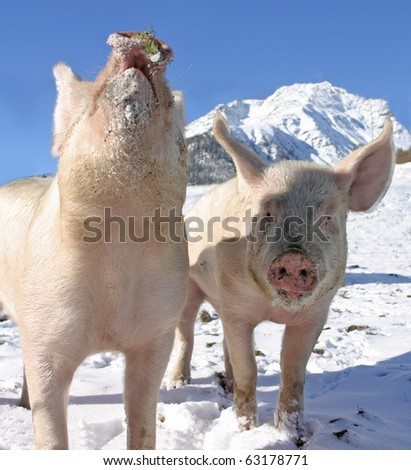 Young pigs on the walk in the Swiss Alps - stock photo