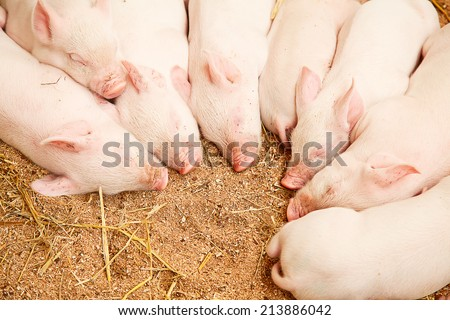 Young pigs sleeping in the barn - stock photo