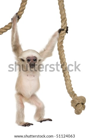 Young Pileated Gibbon, 4 months old, Hylobates Pileatus, swinging from rope in front of white background - stock photo
