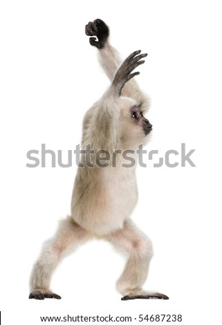 Young Pileated Gibbon, 4 months old, standing in front of white background - stock photo