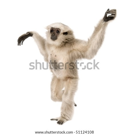 Young Pileated Gibbon, 1 year old, Hylobates Pileatus, walking in front of white background - stock photo