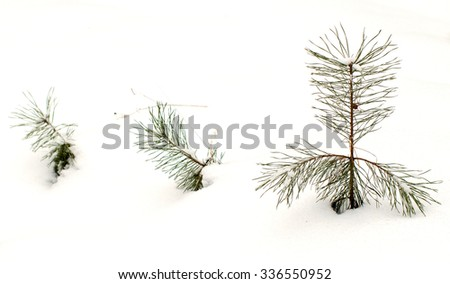 Young pine in snow.