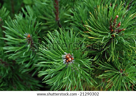 Young pine-tree, cedar, needles - stock photo