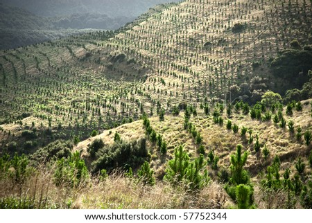 Young pine tree plantation - stock photo