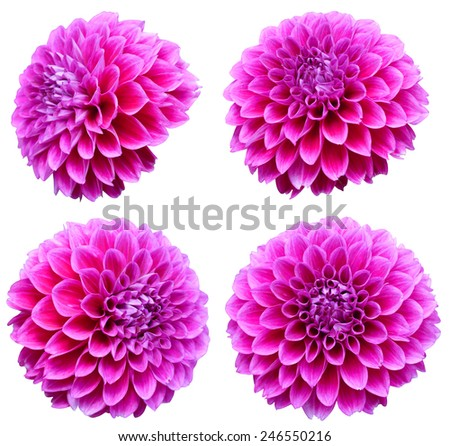 young pink and red chrysanthemum dahlia isolated on white   - stock photo