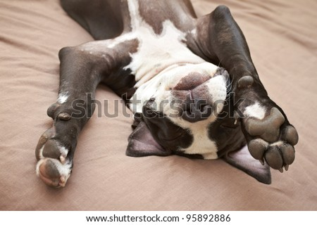 Young Pit Bull dog asleep - stock photo